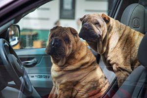 drivingdogs.jpg
